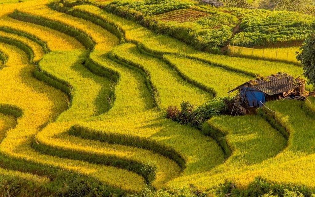 Sapa_Lao_Cai_Ripe_rice