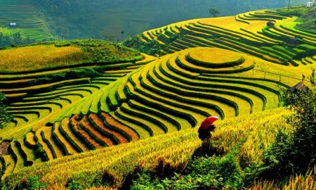 The Roads, that can see beautiful Ripe Rice In The Northwest Of Vietnam